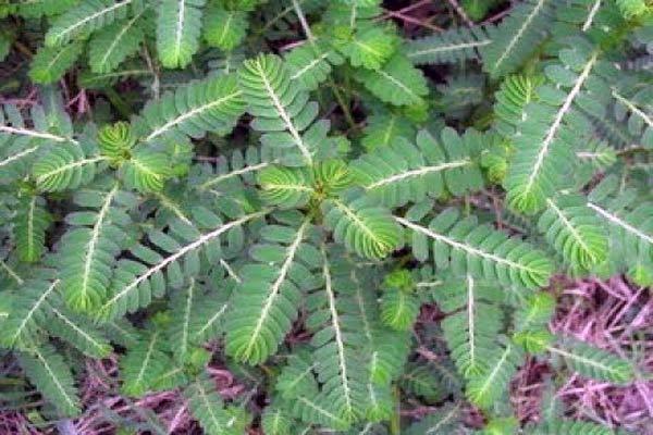 Tumbuhan Meniran Sebagai Obat Herbal