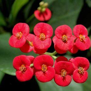 Bunga Euphorbia